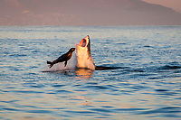 great white shark, Carcharodon carcharias, attacking Cape fur seal, Arctocephalus pusillus, Seal Island, South Africa