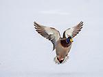 Male mallard duck flying in winter.
