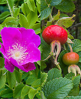 Rosa rugosa rose in flower and then also in rosehip fruits at different seasons, summer and autumn fall