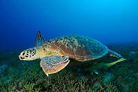 Green sea turtle above the Sea Grass in Abu Dabab, South Egypt, Chelonia mydas;