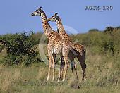 Dr. Xiong, ANIMALS, wildlife, photos, AUJX120,#a#