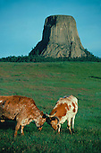 Texas Longhorns spar with Devil's Tower National Monument, WY. in the background.