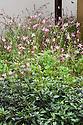 Gaura lindheimeri 'Siskiyou Pink' and ornamental pepper Capsicum annuum 'Black Pearl', The Sonic Pangea Garden, designed by Stefano Passerotti & Anna Piussi, RHS Chelsea flower Show 2013.