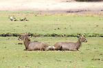 Waterbuck symmetry in Chobe National Park, Botswana.