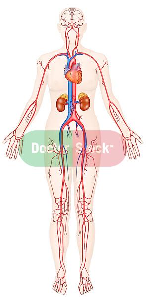 major arteries and veins of the human body