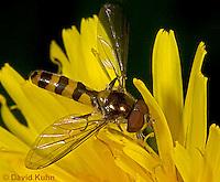 0611-07ss  Maine Syrphid Fly - Sphaerophoria spp. © David Kuhn/Dwight Kuhn Photography