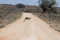 Westerse grijze kangaroe (Macropus fuliginosus)