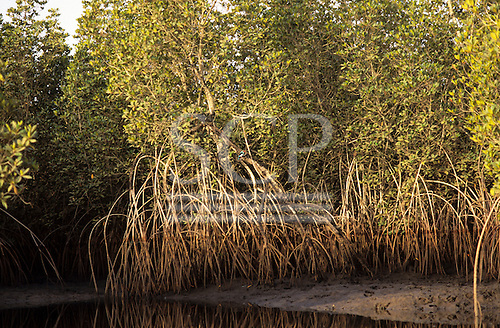 The River Gambia. Mangrove swamp with a small bright blue and red kingfisher in the mangrove branches.