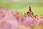 Red Grouse (Lagopus scoticus) female in moorland, Scottish Highlands, Cairngorms National Park, Scotland, United Kingdom