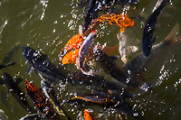 A flurry of fins, tails and colorful bodies as more than a dozen koi converge on a single spot in the koi pond of a Japanese Garden.