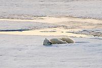 Polar bear (Ursus maritimus) sleeping on an ice floe, Arctic, Svalbard, Norway, Europe