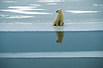 A polar bear sits at the edge of ice, its image reflected in Hudson Bay in Wapusk National Park, Manitoba, Canada.