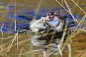 00901-003.02 Pudelpointer is retrieving blue-winged teal from marsh.  Hunt, waterfowl, wetland.