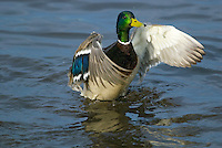 MALLARD DUCK (Anas Platyrhynchos) drake drying wings.