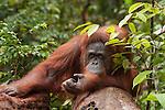 Bornean Orangutan (Pongo pygmaeus wurmbii) - adult female mother