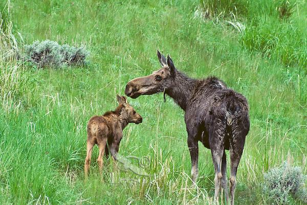 Cow and calf moose.  Western U.S., june.