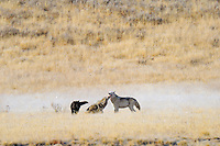 Older (about 6 months), wild gray wolf pups begging/greeting adult alpha female--whiter wolf .  (Canis lupus)  Yellowstone, fall.  The two pups on the left are about 75% of the size of their adult mother on the right.   Adult wolves are still bringing food (mostly regurgitating) back to this rendezvous site, though the pups are about big enough to start following the pack.
