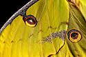 Close-up of wing of African Moon Moth (Argema mimosae) captive, orginating from Africa. website