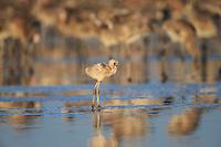 A small weak American Flamingo (Phoenicopterus ruber) chick. Rio Lagartos Biosphere Reserve, Mexico. July.