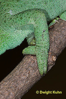 CH37-527z  Jackson's Chameleon or Three-horned Chameleon, Close-up of grasping foot used to climb trees, Chamaeleo jacksonii