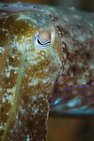 Broadclub Cuttlefish, Sepia latimanus, Anilao, Solo, Anilao Mabini, Batangas, Philippines