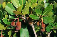 Westlicher Erdbeerbaum, Erdbeer-Baum, Frucht, Früchte, Arbutus unedo, Strawberry Tree