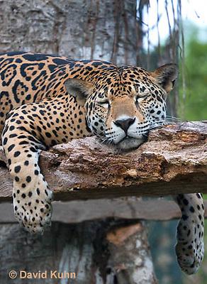 0522-1114  Sleeping Goldman's Jaguar, Belize, Panthera onca goldmani  © David Kuhn/Dwight Kuhn Photography