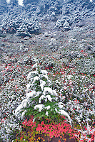 Huckleberry in fall color with hemlock tree and first snow of fall. Mt. Baker Wilderness. Washington