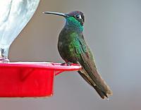 Adult male Rivoli's hummingbird at feeder