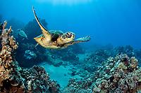 green sea turtles, Chelonia mydas, Maui, Hawaii, USA, Pacific Ocean