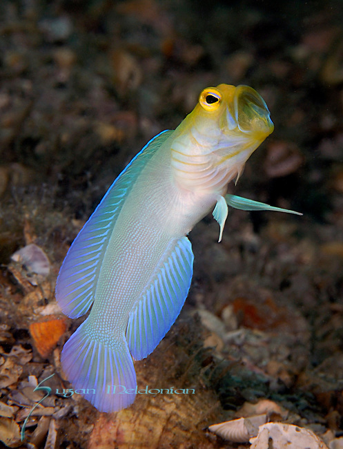 Yellowhead Jawfish with eggs, Opistognathus aurifrons