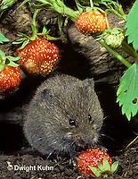 MU30-159z   Meadow Vole - eating strawberries - Microtus pennsylvanicus