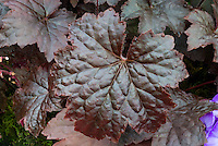 Heuchera 'Molly Bush' perennial foliage plant with dark purple-red leaves