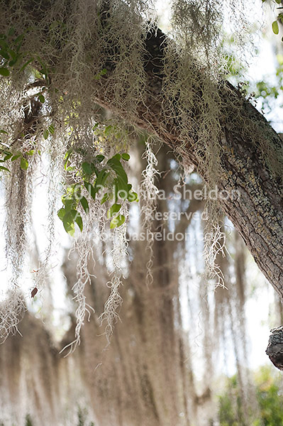 Spanish moss hanging in Southern Live Oak trees
