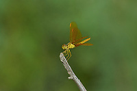 304570017 a wild female mexican amberwing perithemis intensa perches on a plant stem in yuma county arizona