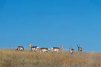 Pronghorn Antelope (Antiloapra americana) herd--buck herding harem of does.  Western U.S., fall.