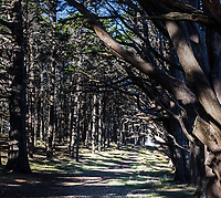 The Cypress Tunnel at Fitzgerald Marine Reserve viewed from the other end.  Limbs and shadows capture the view opposite that which is most familiar to visitors along the Cypress  Trail branch of the Bluff Trail at Fitzgerald Marine Reserver, Moss Beach, California.