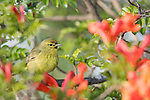 San Diego, California; an Orange-crowned Warbler perched on the branch of a Mexican Honeysuckle plant, while foraging for food in late afternoon light
