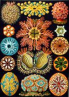 Ascidiacea (Sea Squirts), by Ernst Haeckel, 1904 / Асцидии. Иллюстрация из книги «Kunstformen der Natur» Эрнста Геккеля (1904).