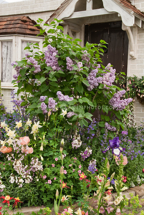 Lilac Syringa in bloom in front of house door entry in spring bloom with garden of irises, papaver, aquilegia, Digitalis, mixed plantings