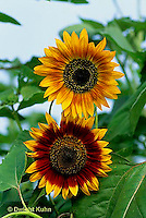 HS13-090x  Sunflower - Bellessa Dlautuno variety -  Helianthus spp
