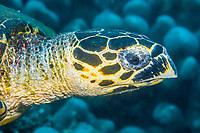 hawksbill sea turtle, Eretmochelys imbricata, Philippines, Pacific Ocean