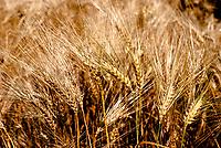 Campo di grano, Milano Parco Nord --- Wheat field, Milan Parco Nord