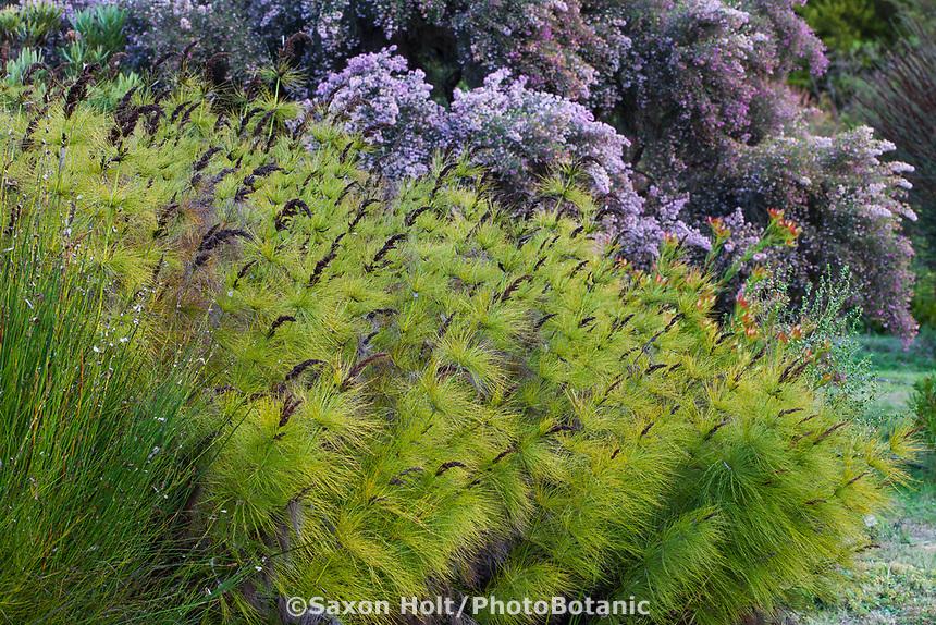 Elegia capensis (Horsetail Restio, Broom Reed) University of California Santa Cruz Botanic Garden