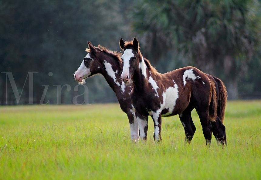 American Paint Horse weanling foals stand in open green field.