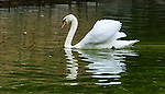 Swans in the S'Hort del Rei pond in the King's Garden, at La Seu Cathedral, Palma de Mallorca, Spain
