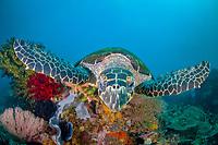 A Hawksbill turtle, Eretmochelys imbricata, swims over a coral reef in Horseshoe Bay, Rinca Island, near Komodo, Indonesia, Pacific Ocean