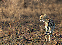 We found a trio of cheetahs one morning in Kruger National Park.