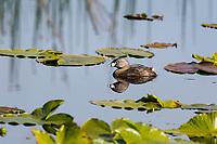 Pied-billed Grebe (Podilymbus podiceps). Klamath Marsh National Wildlife Refuge, Oregon.