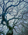 Winter, Japanese Maple in Fog, Fern Canyon Garden, Mill Valley, California